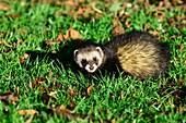 European polecat on grass
