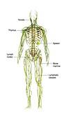 Human immune system,illustration
