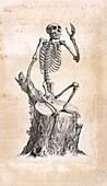 Monkey skeleton,18th century
