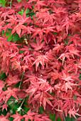 Acer palmatum 'Shishio Improved' leaves