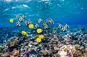 Bannerfish and butterflyfish on a reef