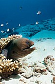 Giant moray eel on a reef