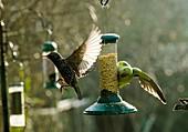 Ring-necked parakeet,UK