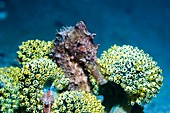 Seahorse with sea squirts