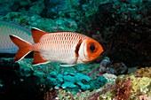 Splendid soldierfish on a reef