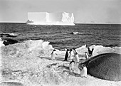 Adelie penguins in Antarctica,1911