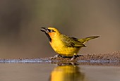 Spectacled weaver at a watering hole
