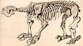 Composite skeleton of a Megatherium