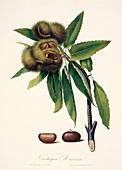Sweet chestnut,19th century illustration