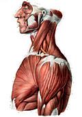 Upper body muscles,illustration