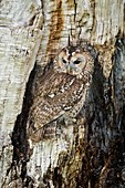 Tawny owl camouflaged in tree