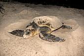 Loggerhead turtle covering its nest