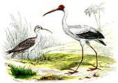 Painted storks,19th Century illustration