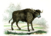 Water buffalo,19th Century illustration