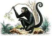 Spider monkey,19th Century illustration