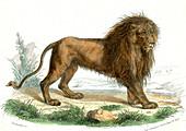 Lion,19th Century illustration