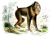 Mandrill,19th Century illustration