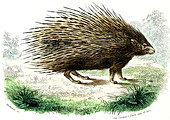 Crested porcupine,illustration