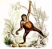 Orangutan,19th Century illustration