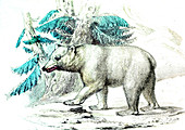 Polar bear,19th Century illustration