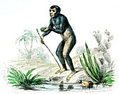 Chimpanzee,19th Century illustration