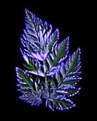 Fern leaves,Kirlian photograph