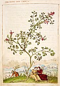 Fumewort (Fumaria sp.),illustration