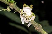 Buckley s slender-legged Treefrog