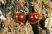 Chrysomelid beetles