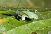 Female katydid with spermatophore