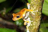 Alfaro's treefrog