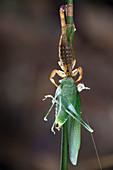 Scorpion feeding on a katydid