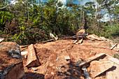 Rainforest tree cut for planks
