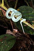 Two-striped forest pitviper