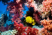 Golden butterflyfish and soft coral