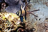 Banggai cardinalfish