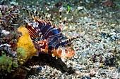 Zebra lionfish on a reef