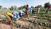 Great Green Wall farming,Senegal