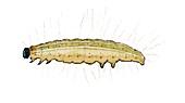 Porphyrinia paula caterpillar