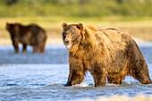 Brown bear standing in water,Alaska,USA