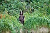 Brown bear standing in grass,Alaska,USA