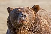 Brown bear sniffing air,Alaska,USA