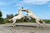 Camargue horses,France