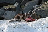 Arctic fox feeding on a seabird