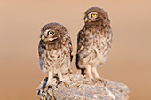 Little owl mating couple