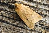 Yellow line quaker moth