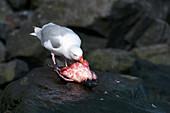 Glaucous gull feeding on a seabird