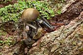 Pseudoscorpion hunting ants
