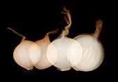 Onions (Allium cepa),X-ray
