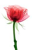 Rose (Rosa sp.) flower,X-ray